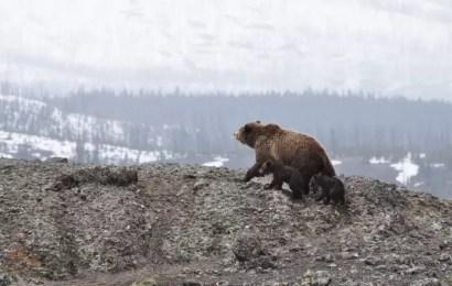 В Югре медведи вне воли стали выходить из спячки