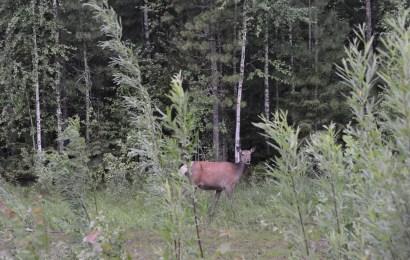 В Югре обнаружили новый для региона вид животных — маралов, которые, как считалось раньше, не водятся в Ханты-Мансийском автономном округе.