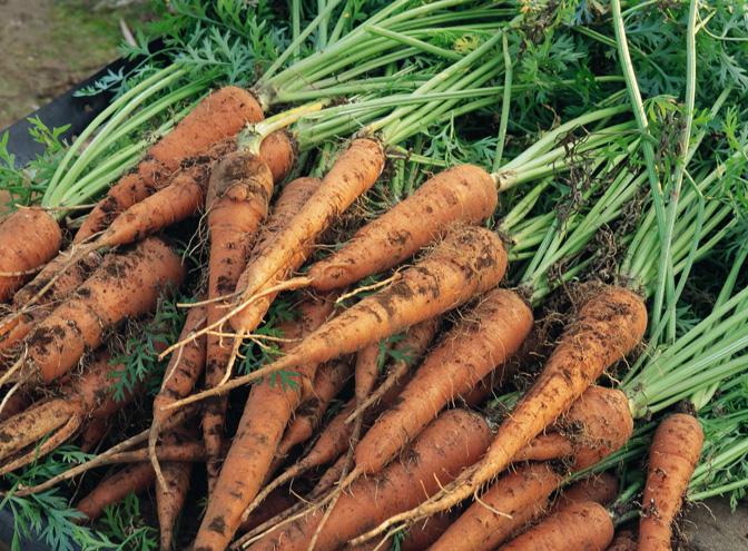 Уборка свеклы осенью начнется раньше моркови