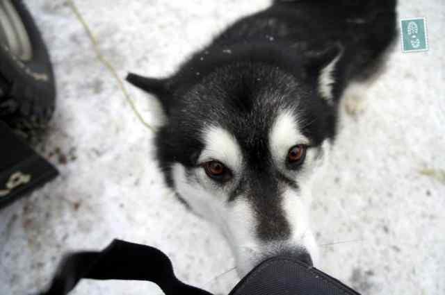 A cute haski dog