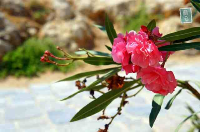 Blossoming flowers, Rethymno