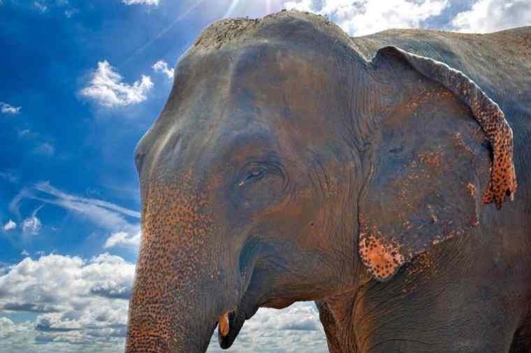 sri-lanka elephant