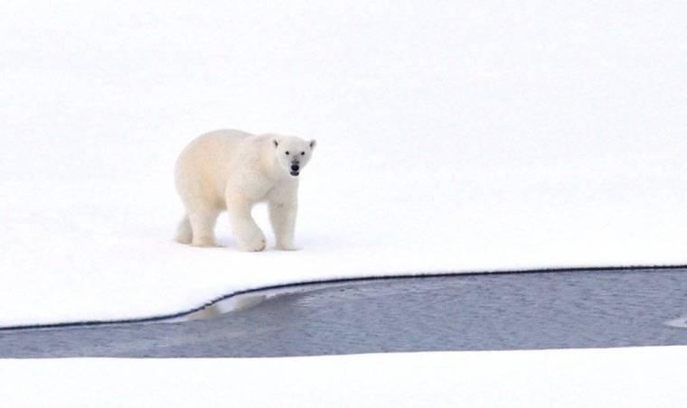 polar-bear-ice-arctic-white-cold