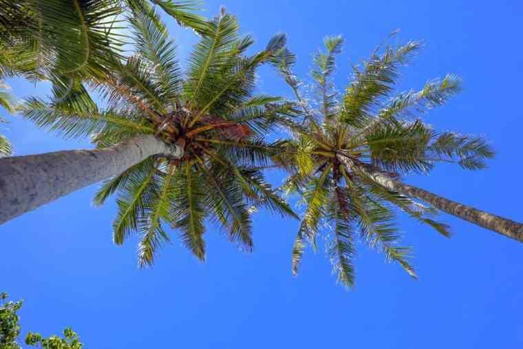 Palm trees the Maldives, Thulusdhoo island