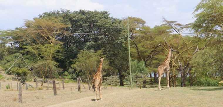 Giraffes at Lake Naivasha
