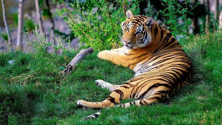 Bengal tiger, lounging on a grassy bank