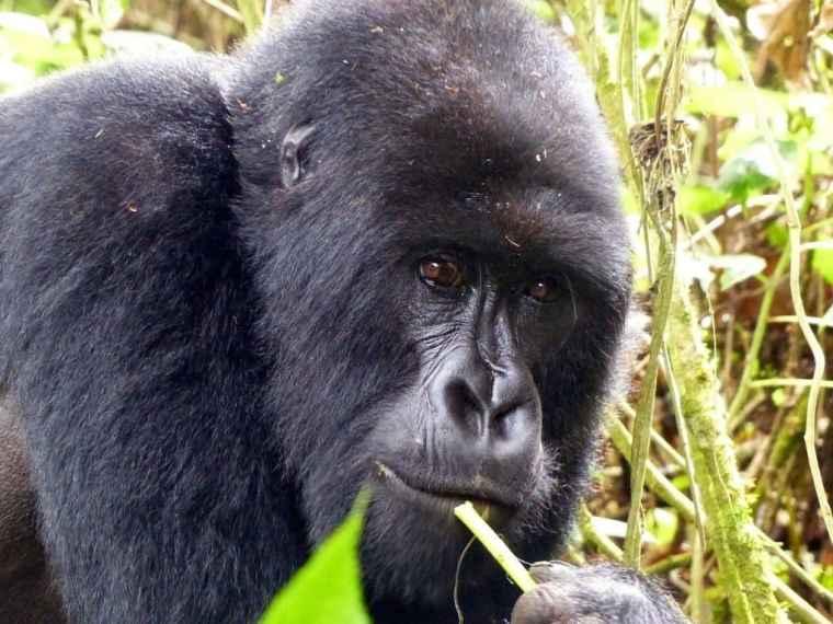 Gorilla safari in Rwanda