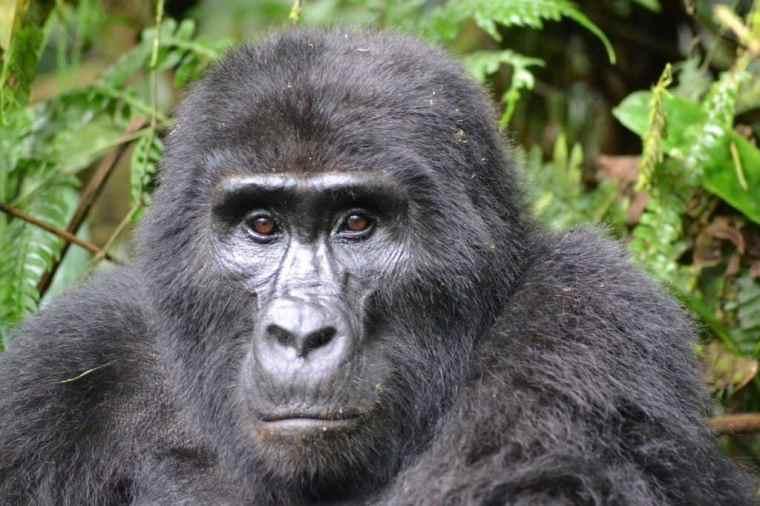 A gorilla on a gorilla safari