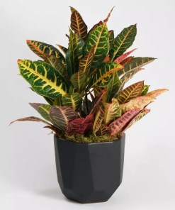 Buy Croton Online in Lahore, Islamabad, Karachi and Pakistan