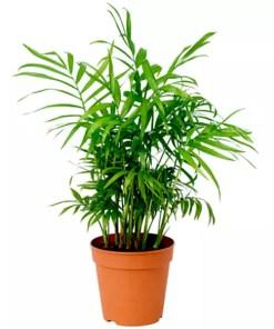 Chamaedorea Elegans | Parlour Palm | چیمی ڈورا پام | چیمی رایبس