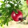 Pomegranate   Annar   Anar (Grafted)   انار