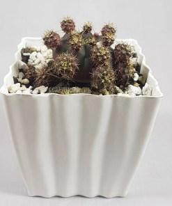 Gymnocalycium bruchii | Gemino Cactus