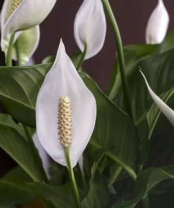 A picture of peace lily with full blossom. This image gives an idea about the peace lily product when you order from etree.pk online
