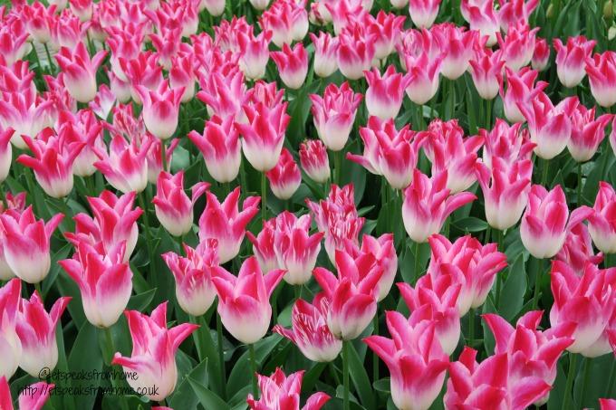 Keukenhof - Tulips in Holland pink