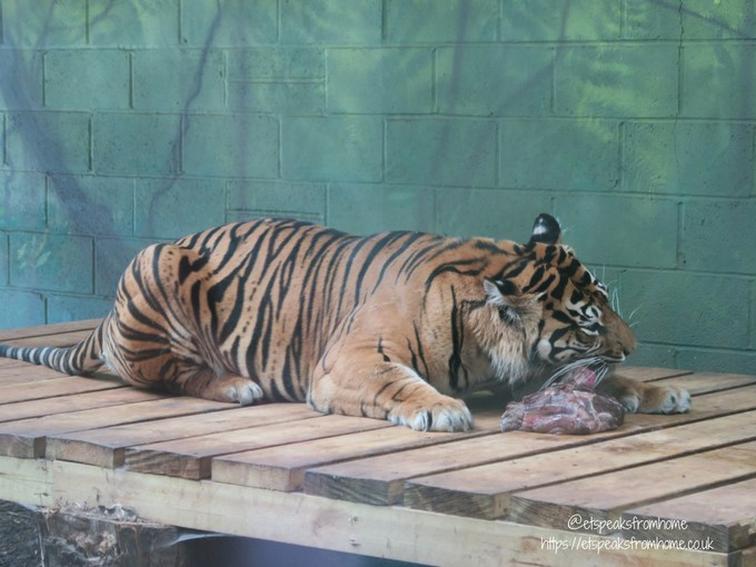 Celebrating 10th Anniversary of Thomas Land zoo tiger