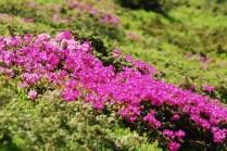 Rododendroni 1