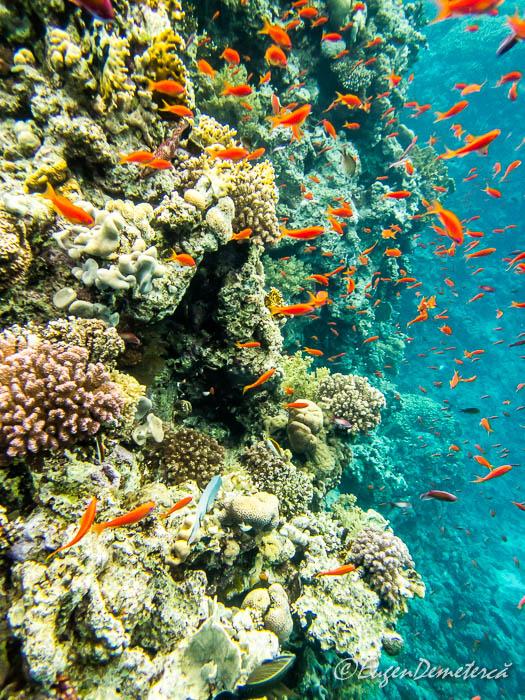 Perete de corali cu pesti rosii