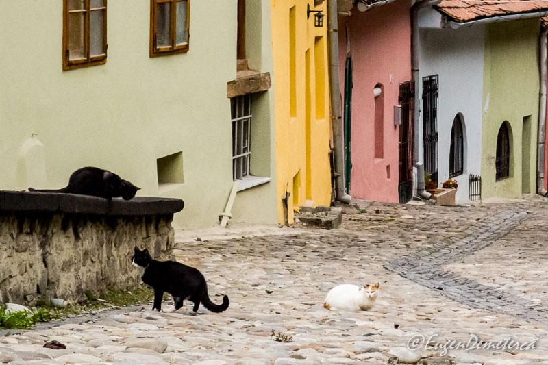 Pisici in Sighisoara