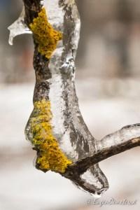 1230155 - Muschi de copac in gheata