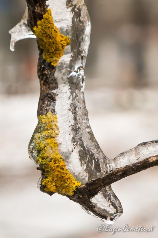 Muschi de copac in gheata