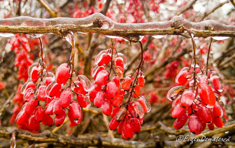 Fructe rosii in gheata 5