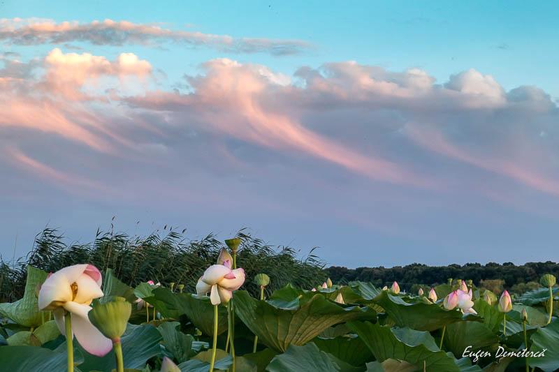 1034861 - Desfătare cu apus și lotuși pe Snagov