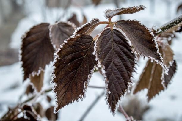 frozen_leafs