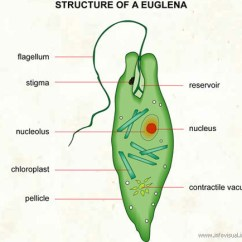 Chloroplast Diagram With Labels Simple Wiring Structure Function Euglena