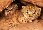 It's twins! LIFE reintroduced lynx gives birth in the Palatinate Forest