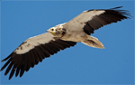 New flyway action plan for Egyptian vulture