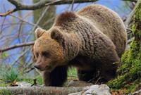 Photo: DINALP BEAR LIFE