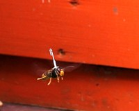 Beekeepers track invasive hornets to their nest