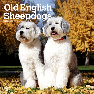 Old English Sheepdogs 2022 Square