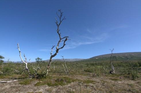 Birkenwildwuchs in Norwegen
