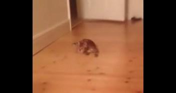 フローリングを滑る猫
