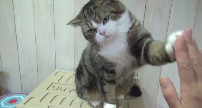 連続ハイタッチする猫