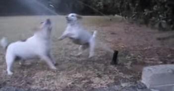 スプリンクラーで遊ぶ犬の親子