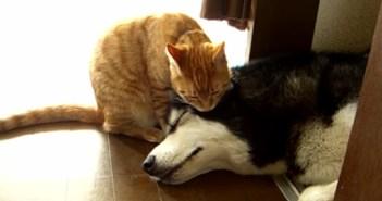 ハスキー犬をなめる猫