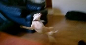 豪快に転ぶ犬