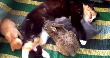 母猫のお乳を飲むウサギ