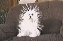 静電気で毛が立った犬