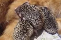 ハリネズミを育てる猫のお母さん