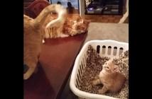 催眠術にかかる子猫