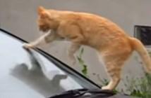 フロントガラスを掃除する猫
