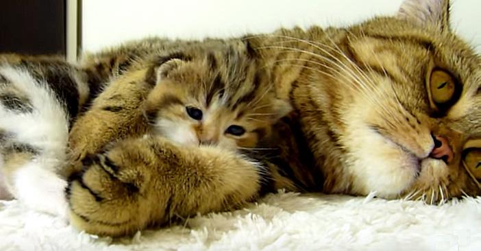 母猫に抱っこされる子猫