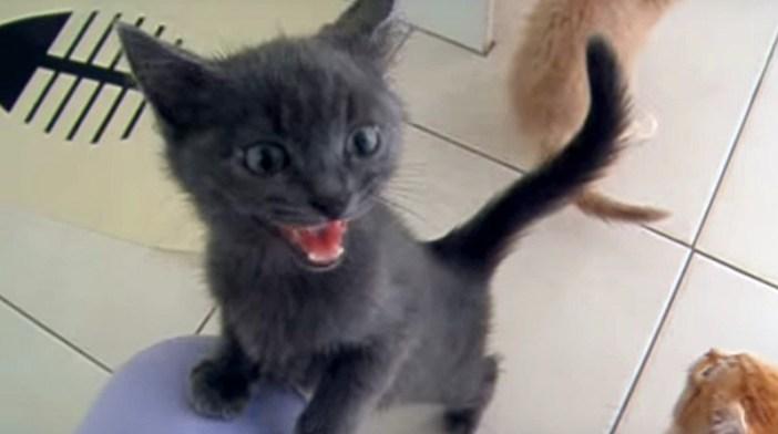 ご飯を食べたい子猫