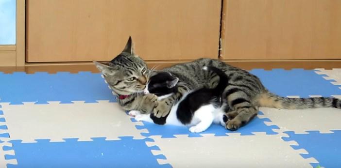 孫猫を可愛がるおばあちゃん猫