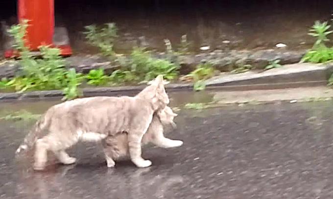 子猫を咥えて帰宅する母猫