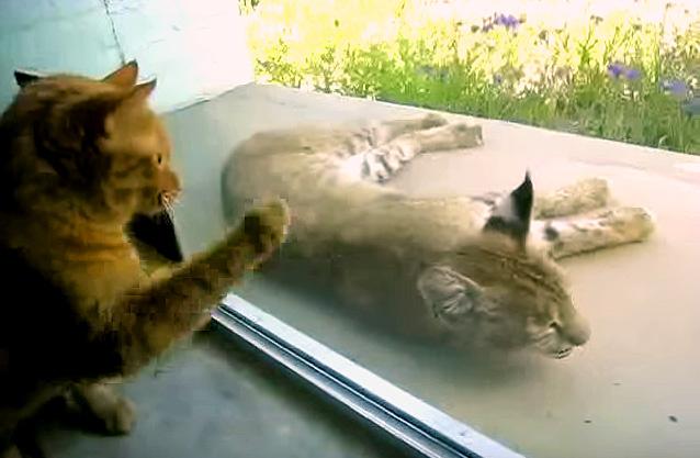 オオヤマネコと仲良くなりたい猫