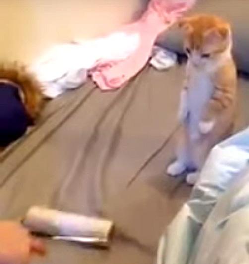 コロコロを見る子猫